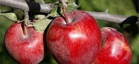 نهال سیب رد دلیشز یا قرمز لبنان