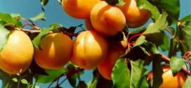 نهال زردآلوی شکر پاره در جهان
