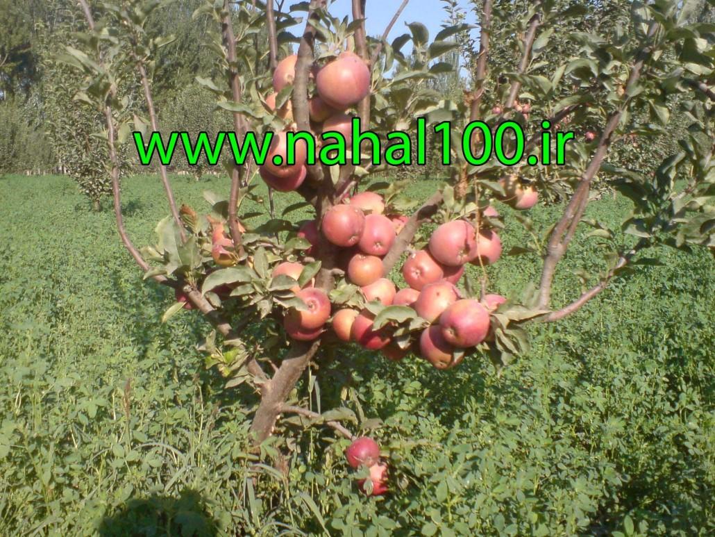 سیب فرانسه
