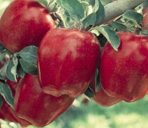 رقم جدید سیب ردچیف