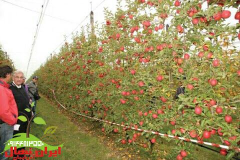 نهال سیب پایه مالینگ
