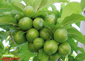 نهال گوجه سبز یا آلوچه