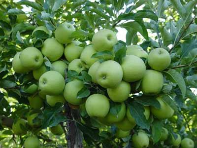 نهال سیب سبز یا گران اسمیت