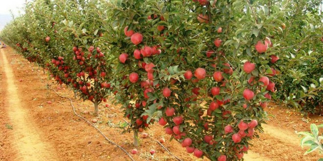 احداث باغ سیب