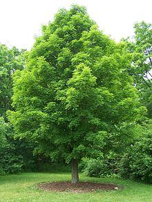 کاشت درخت افرا