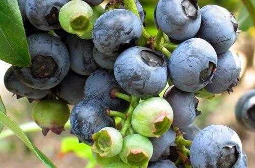 نهال بلوبری Blue berry